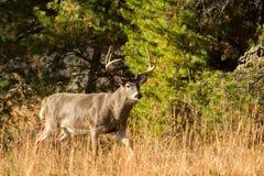 Grande dollaro dei cervi dalla coda bianca Fotografie Stock