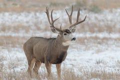 Grande dollaro dei cervi muli in neve Immagini Stock Libere da Diritti