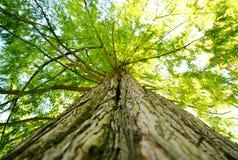 Grande dossel e membros gigantes de árvore que olham acima na floresta foto de stock