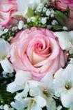 Grande e bella rosa di rosa Fotografia Stock