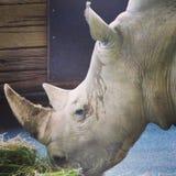Grande e molto forte rinoceronte che cammina in uno zoo a Erfurt Fotografie Stock