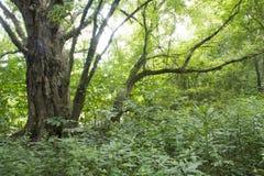Grande e molto vecchio albero sull'isola media fotografie stock libere da diritti
