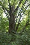Grande e molto vecchio albero sull'isola media fotografie stock