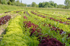 Grande e piantagione variopinta della lattuga Fotografie Stock Libere da Diritti