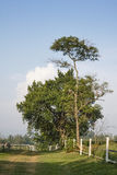 Grande e piccolo albero Fotografia Stock