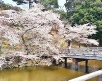 Grande e Sakura lindo Fotografia de Stock Royalty Free