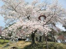 Grande e Sakura lindo Fotografia de Stock