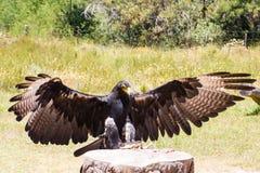 Grande Eagle Fotografie Stock Libere da Diritti