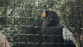 Grande Eagle In Huge Cage Intended nero per riposare Uccello in prigioniero video d archivio