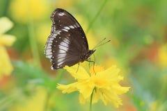 Grande eggfly Fotos de archivo
