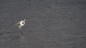 Grande Egret stock footage