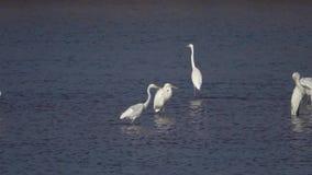 Grande Egret archivi video