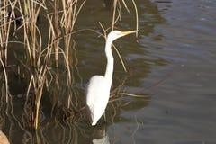 Grande Egret Immagini Stock