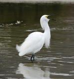 Grande Egret Imagem de Stock
