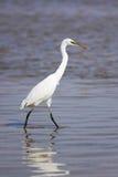 Grande Egret fotos de stock