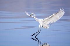 Grande Egret imagens de stock