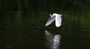Grande Egret Fotografie Stock Libere da Diritti
