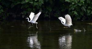 Grande Egret Immagine Stock