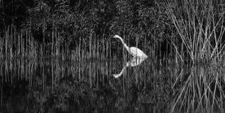 Grande Egret Fotografia Stock Libera da Diritti
