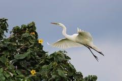 Grande Egret Imagens de Stock Royalty Free