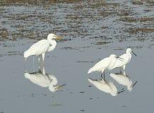 Grande Egret Immagine Stock Libera da Diritti