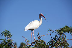 Grande Egret Immagini Stock Libere da Diritti