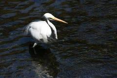Grande Egret in acqua Fotografia Stock Libera da Diritti