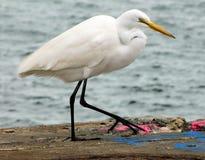 Grande Egret al lato del lago Fotografia Stock Libera da Diritti