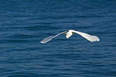 Grande Egret (albus de Casmerodus) Fotos de Stock