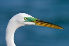 Grande Egret (albus do Casmerodius) Imagens de Stock Royalty Free