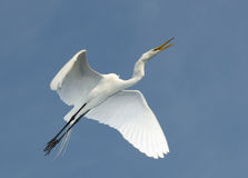 Grande Egret, Ardea alba Fotos de Stock Royalty Free