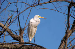 Grande Egret (Ardea alba) Imagem de Stock Royalty Free