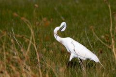Grande Egret, Ardea alba Fotografia Stock Libera da Diritti