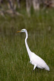 Grande Egret, Ardea alba Fotografie Stock Libere da Diritti