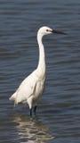 Grande Egret (Ardea alba) Immagini Stock