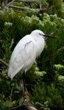 Grande Egret (Ardea alba) Fotografie Stock