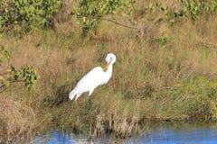 Grande Egret (ardea alba) Fotografia Stock Libera da Diritti