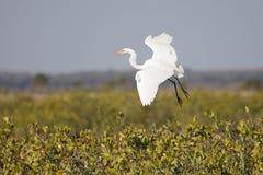 Grande Egret (Ardea alba) Immagine Stock