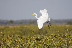 Grande Egret (Ardea alba) Imagem de Stock
