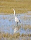 Grande Egret, Ardea alba, Arcata, California fotografia stock libera da diritti
