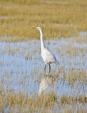 Grande Egret, Ardea alba, Arcata, Califórnia Fotografia de Stock Royalty Free