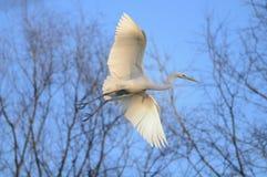 Grande Egret (Ardea alba) durante il volo Fotografie Stock Libere da Diritti