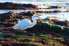 Grande Egret, Ardea alba, no habitat intertidal rochoso, perto da baía de Morro, Califórnia, EUA fotografia de stock