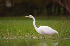 Grande egret atento Foto de Stock Royalty Free