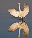 Grande Egret bianco Fotografie Stock Libere da Diritti