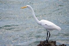 Grande Egret bianco Fotografie Stock