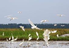 Grande Egret bianco Immagini Stock Libere da Diritti