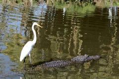 Grande Egret bianco Immagini Stock