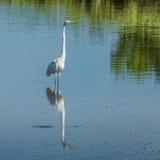 Grande Egret bianco Fotografia Stock