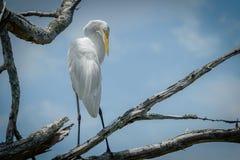 Grande Egret bianco Fotografia Stock Libera da Diritti